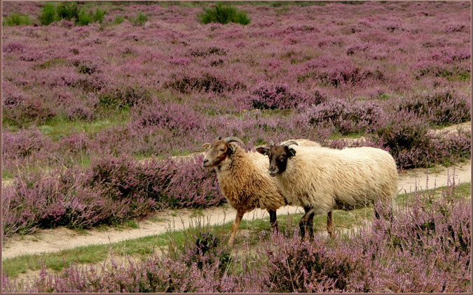 Limburgs wool