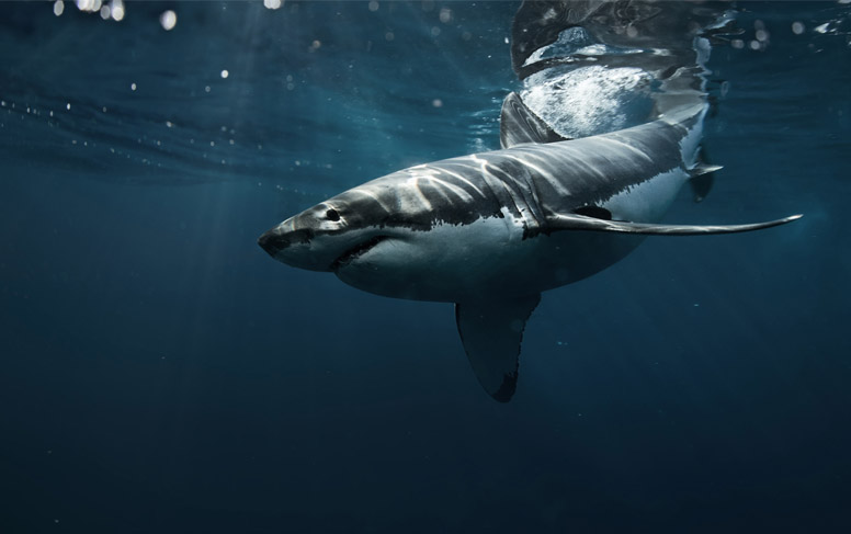 Pinching Shark